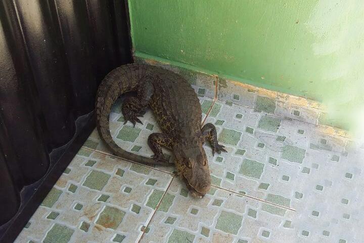 Caculé: Moradores do Bairro da Estação são surpreendidos com aparição de filhote de jacaré